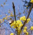 Drieň a včela